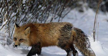 Бешеные лисицы