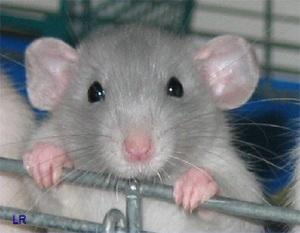 Лихорадка укуса крыс