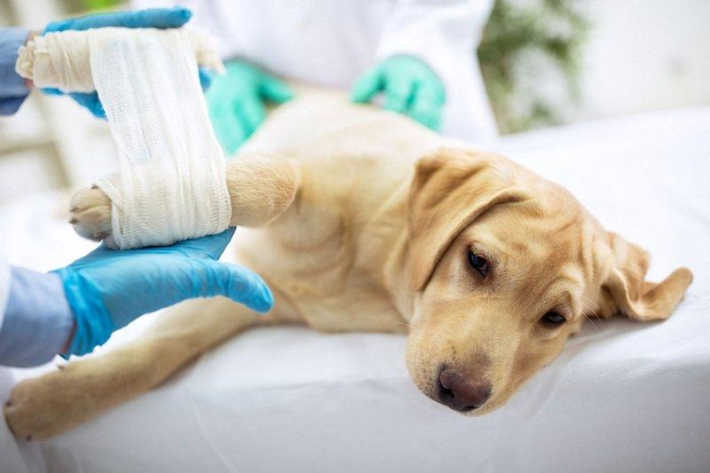 Что нужно делать при травмировании позвоночника собаки (кошки)