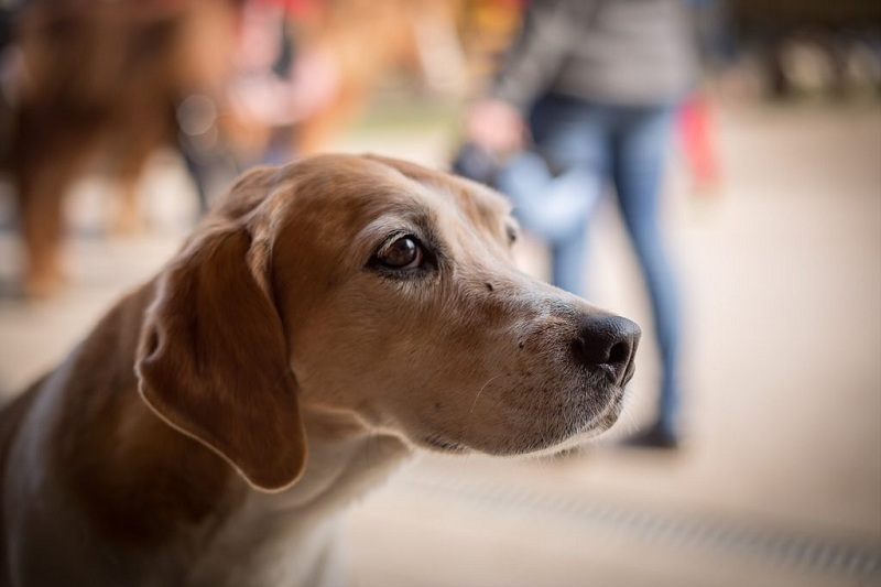 Собака с дисплазией