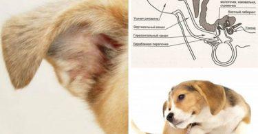 У собаки (кошки) проблемы со слухом