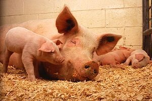 Лептоспироз у свиней
