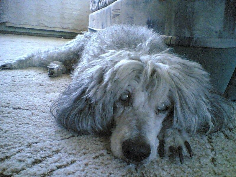 Собака ослепла