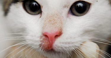 Лишай у кота (кошки)