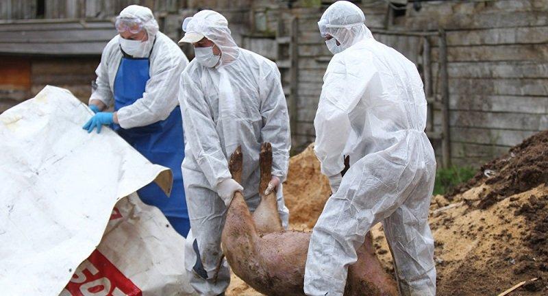 Что за болезнь рожа свиней