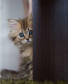 Способы приучения котенка к лотку