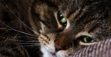 Как лечить микоплазмоз у животных