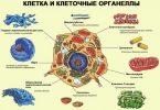Подробный разбор строения клетки