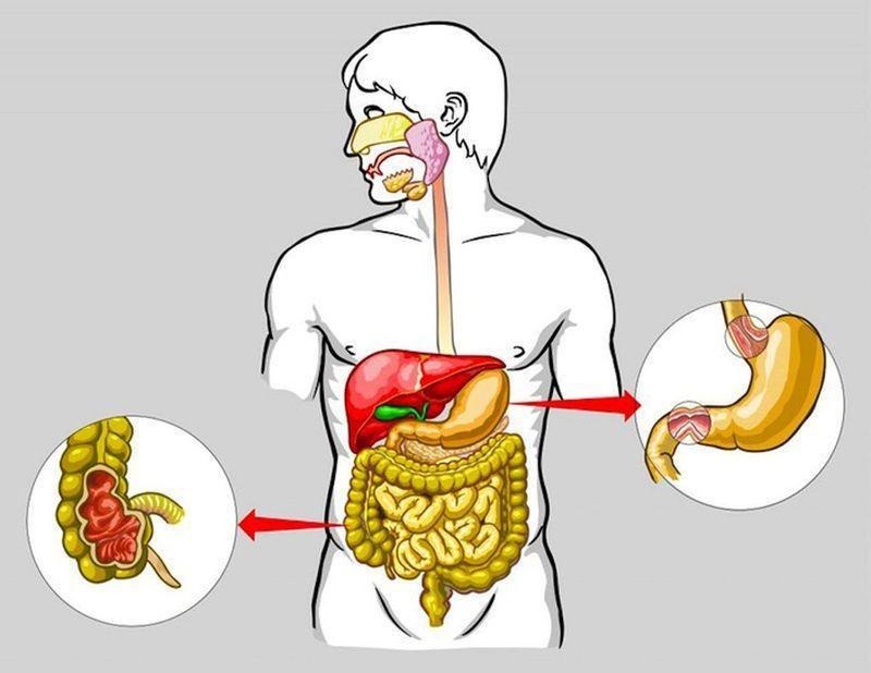 Органы пищеварительной системы человека
