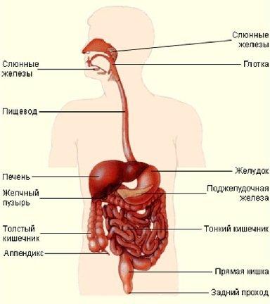Пищеварительная система человека анатомия