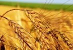Пророщенная пшеница - состав
