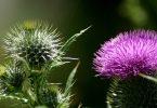 Трава расторопша - противопоказания