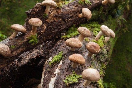 Китайские грибы от рака - способ применения