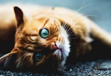 Криптококкоз у кошек лечение