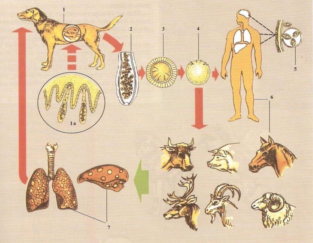 Эхинококк у животных