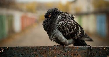 Орнитоз и пситтакоз у птиц