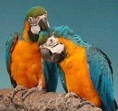 Орнитоз у птиц