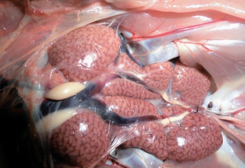 Что такое колибактериоз