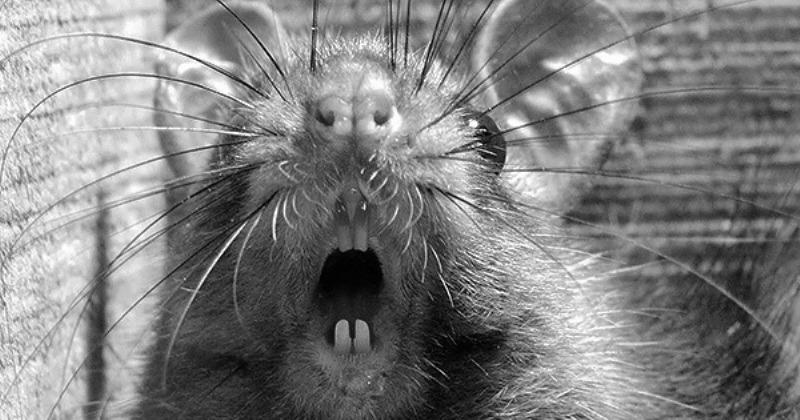 Крысиная лихорадка