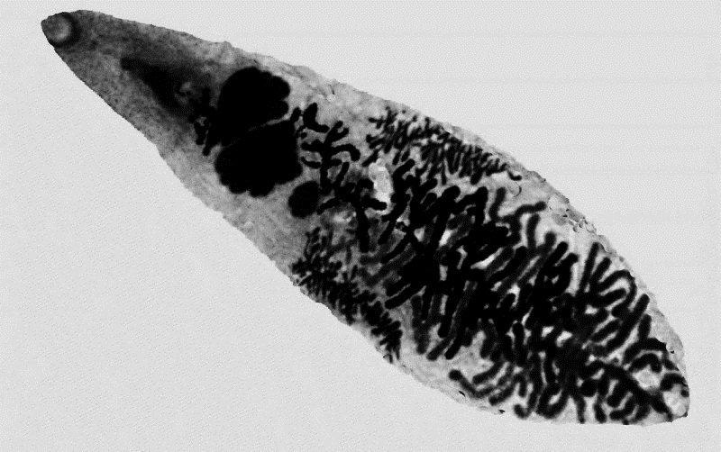 Дикроцелиоз жвачных курсовая работа 1300