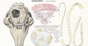 Описание и профилактика Ценуроза