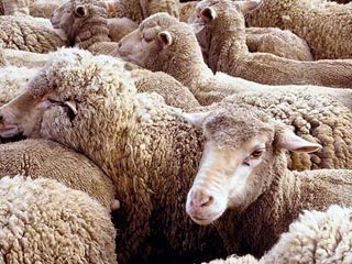Ценуроз у овец