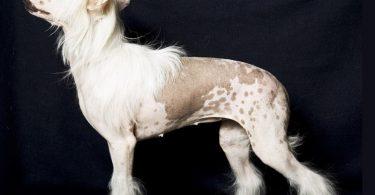 Лысение домашних животных