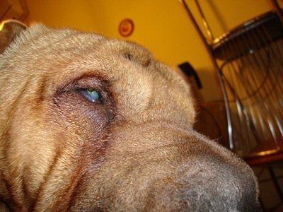 Если у собак (кошки) катаракта
