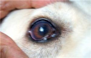 Симптомы конъюнктивита у кошек и собак