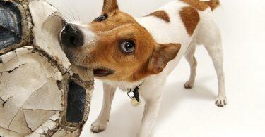 Почему собака грызет вещи