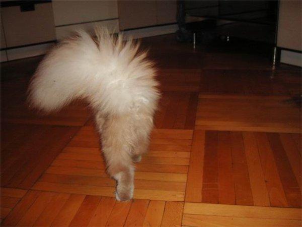 Лысеет хвост у кошки