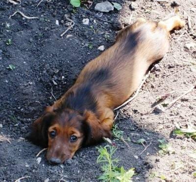 Для чего собака роет ямы в земле