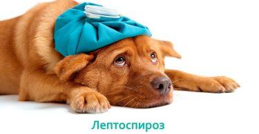 Опасность Лептоспироза у собак