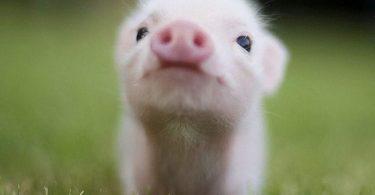 Симптомы Лептоспироза у свиней