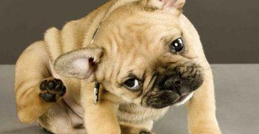 Средство от ушного клеща