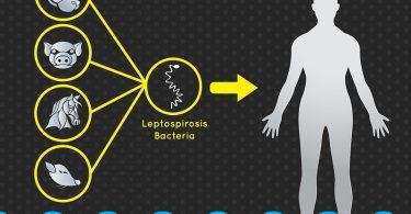 Методы лечения лептоспироза
