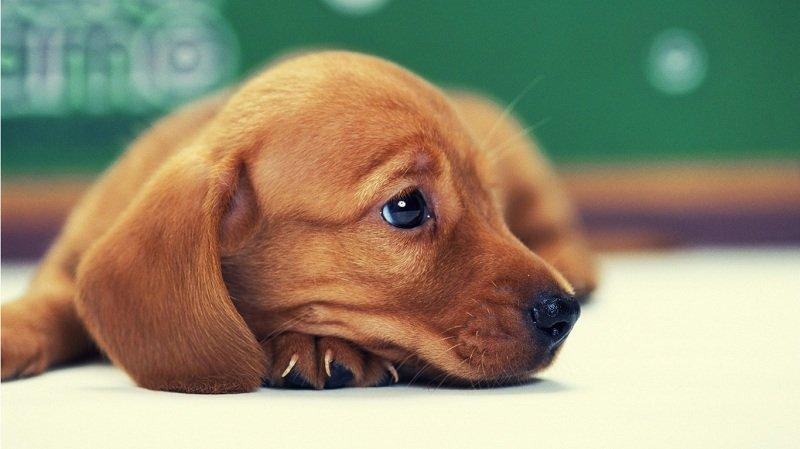 Средство для лечения язвы у животного