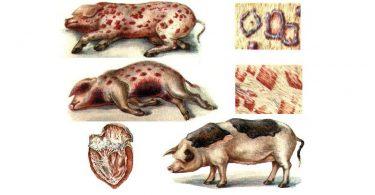 Болезнь Рожа свиней