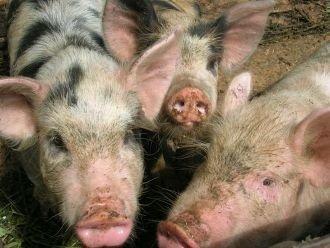 Рожа свиней у животных