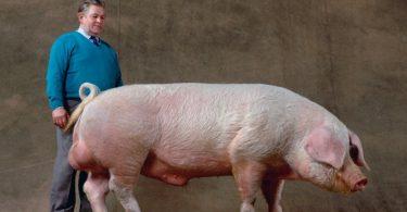 Лечение болезни Рожа свиней