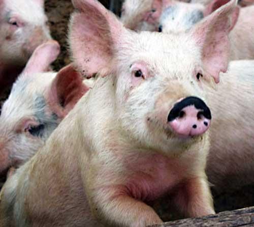 Профилактика рожи свиней