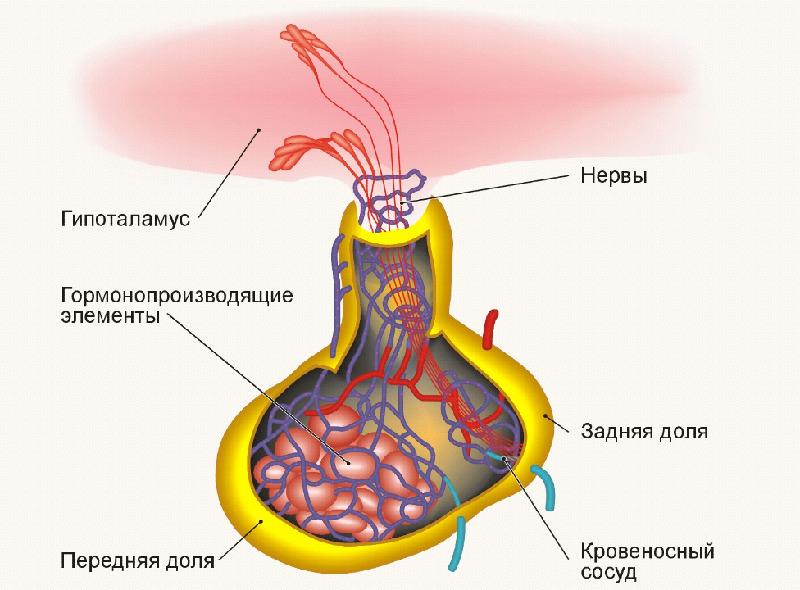 Эндокринные железы при ожогах