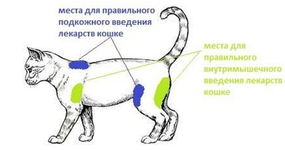 Куда делать укол кошке
