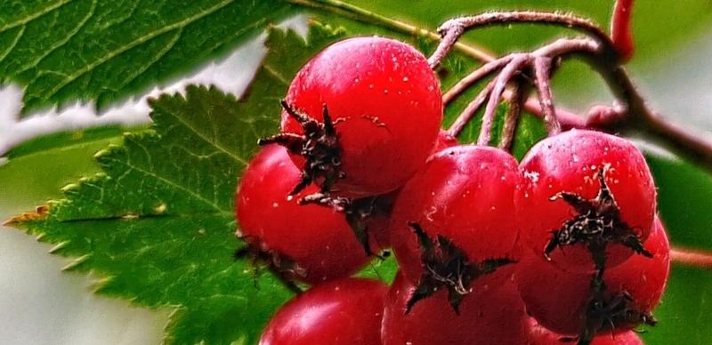 Боярышник ягоды - польза и вред