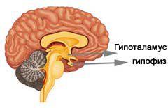 Строение эндокринной системы человека