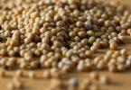 Польза горчицы в зернах