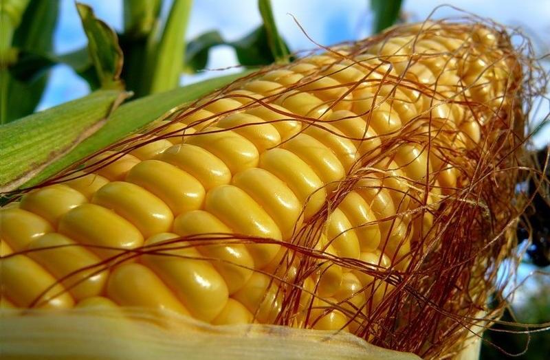Полезные свойства кукурузы вареной