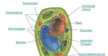 Строение лизосом и функции, которые они выполняют