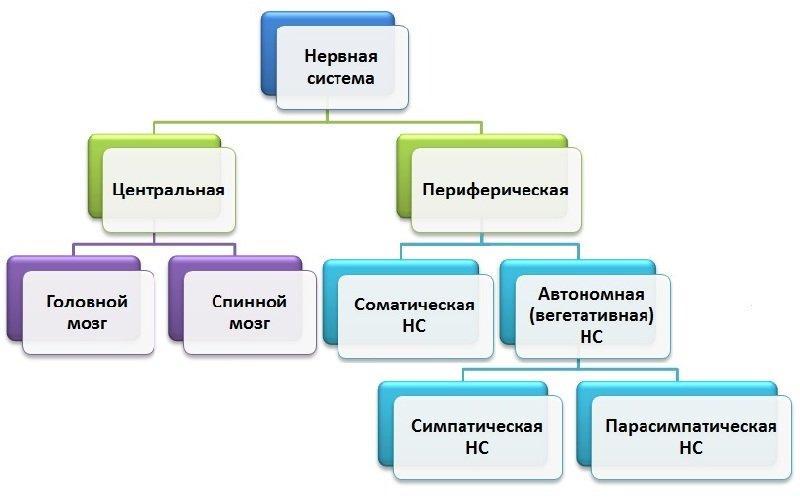 Строение нервной системы человека