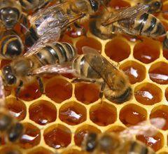 Перга пчелиная противопоказания